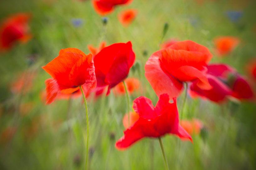 Poppies love. sur Nicole van As
