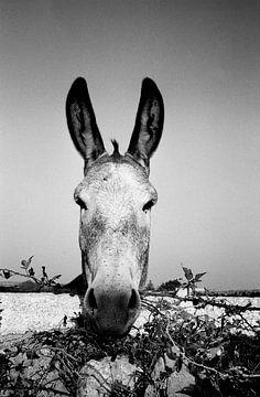 Donkey van Jim Plasman
