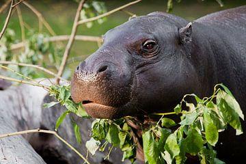 Joli gros plan du museau hippopotame, sur Michael Semenov