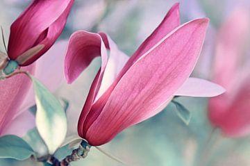 Magnolienblüte  Makro von Violetta Honkisz