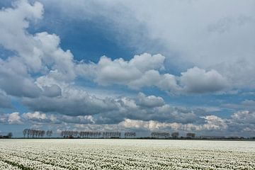 Witte Tulpen op Flakkee met wolken van Eddy 't Jong