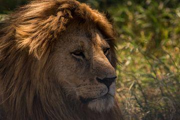 Augen eines Löwen von Menno Selles
