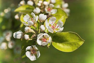 apple blossoms van Gunter Kirsch