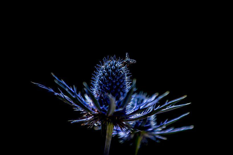 Eryngium Variifolium Edeldistel Kruisdistel van SchippersFotografie