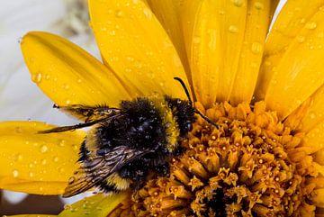 Hommel op gele bloem van Marcel Krol