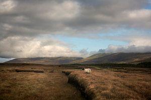 Schaap op het veenland van Bo Scheeringa Photography