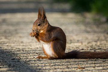 Eichhörnchen im Park von Tobias Luxberg