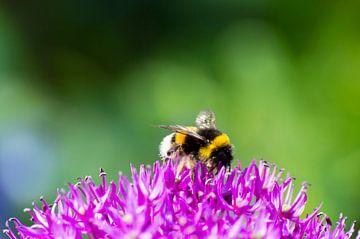 Biene auf einer lila Blume von Arthur Hooijer