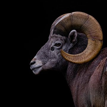 Mufflon von bryan van willigen