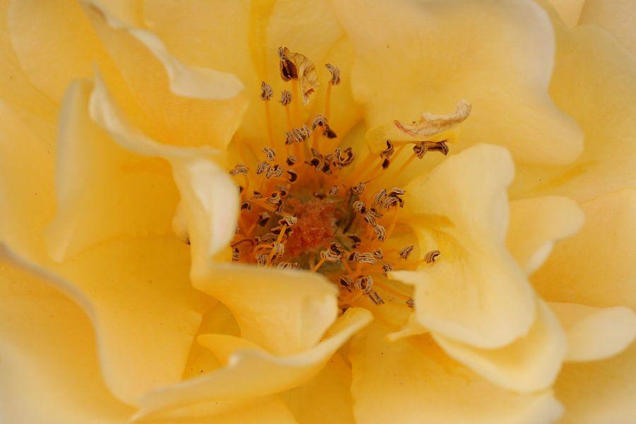 Gelbe Rose  van Rosi Lorz