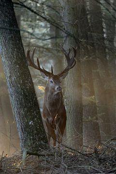 Majestic Red Deer ( Cervus elaphus ) stands between trees in wonderful backlight, directly in front  van wunderbare Erde