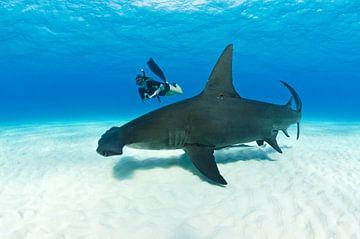 Freediven met een grote hamerhaai van