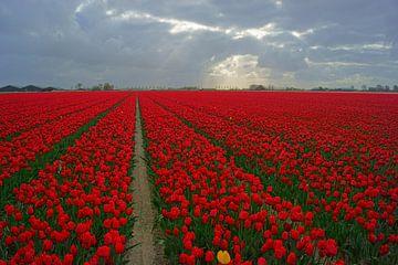 Tulpen sur Michel van Kooten