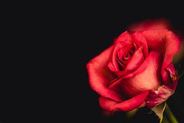 Een rode roos voor jou van Fotografie Jeronimo
