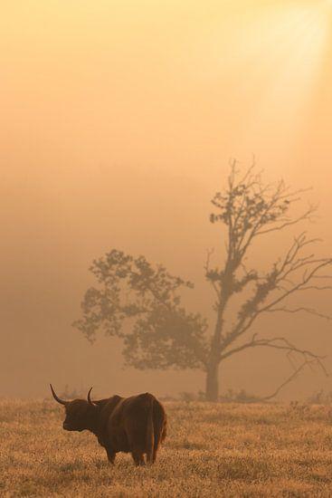 Schotse Hooglander op de Drentse heide bij Oudemolen op een mooie mistige herfst ochtend