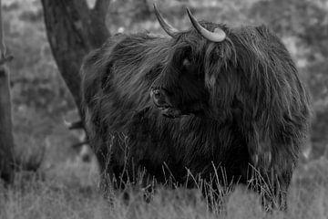 Schottischer Highlander in Schwarz-Weiß von Peter Bartelings Photography