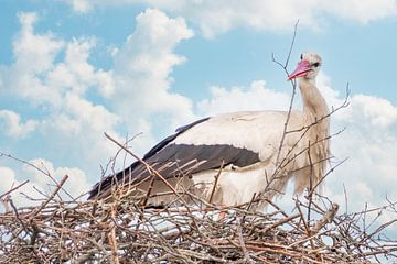 Ein Storch steht im Nest, einen Zweig im Schnabel. Blauer Himmel mit weißen Wolken im Hintergrund. S von Gea Veenstra