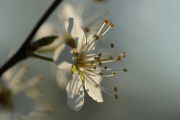 Blossom van Carla Mesken-Dijkhoff