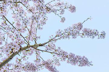 Frühlingszeit! Die Kirschbäume blühen von Rietje Bulthuis