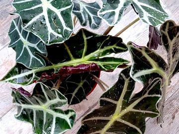 Kamerplant: Alocasia Zebrina | Olifantsoor 1-A von MoArt (Maurice Heuts)