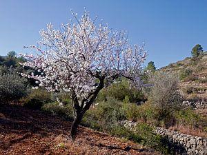 Bloeiende amandelboom in het vrije veld, ergens in de Spaanse binnenlanden