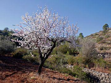 Blühender Mandelbaum im freien Feld, irgendwo im spanischen Hinterland von Gert Bunt