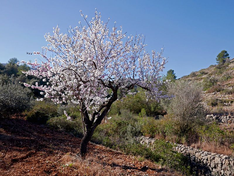 Bloeiende amandelboom in het vrije veld, ergens in de Spaanse binnenlanden van Gert Bunt