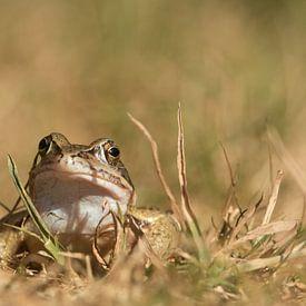 Heikikker (Rana arvalis) , Moor frog , Moorfrosch sur Art Wittingen