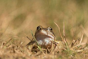 Heikikker (Rana arvalis) , Moor frog , Moorfrosch van Art Wittingen
