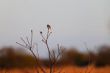 Schwarzkehlchen im Baum von Hans van Oort