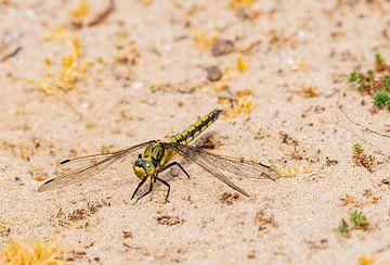 Auf der Düne ruhende Libelle von Merijn Loch