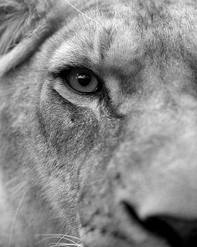 schwarz-weiß Nahaufnahme Lioness von Patrick van Bakkum
