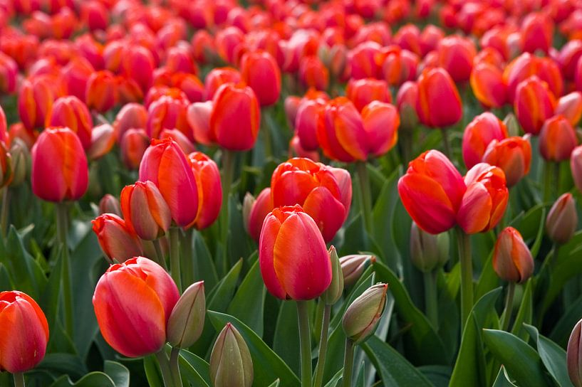 Tulip Fields North Holland, Netherlands van Henk Meijer Photography