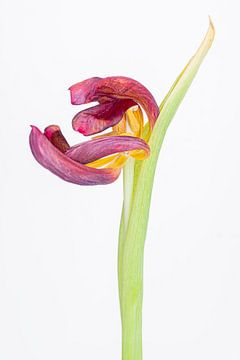 Kreukelige tulp 3