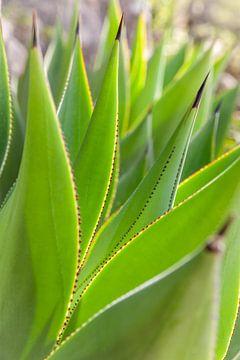 Blätter der Agave im Garten La Mortella auf Ischia von Christian Müringer