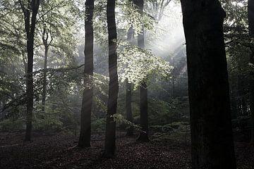 Opgaande zon in het bos van DuFrank Images