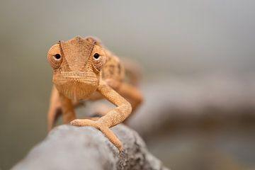 Lappenkameleon (Flap-necked Chameleon) van