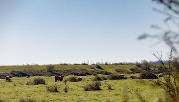 Schotse hooglanders in het open landschap van Percy's fotografie