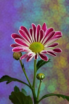 Farbenpracht von zwergl 0611