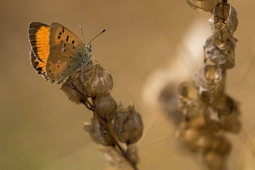 Oranje vlinder op bruine plant van Fokko Erhart