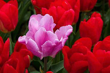 Roze tulp tussen rode tulpen von W J Kok