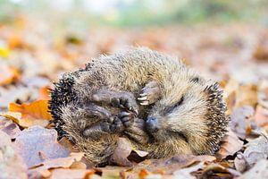 Opgerolde egel ligt op bladeren in herfst