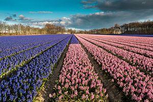 Bollenveld met blauwe en roze hyacinten