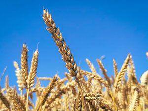 Maisstängel gegen einen blauen Himmel von Menno van der Haven