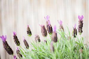 Lavendel von Melanie Schat