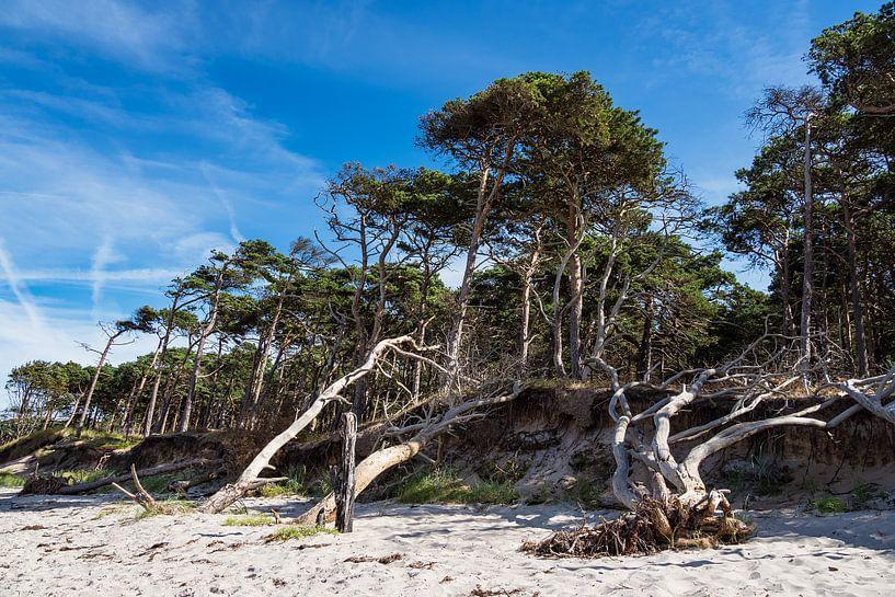 Trees on shore of the Baltic Sea van Rico Ködder
