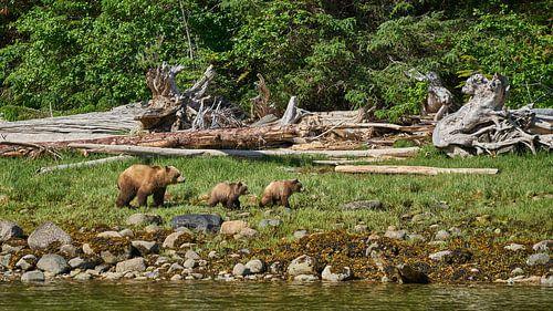 Grizzly-Familie auf einer Wanderung