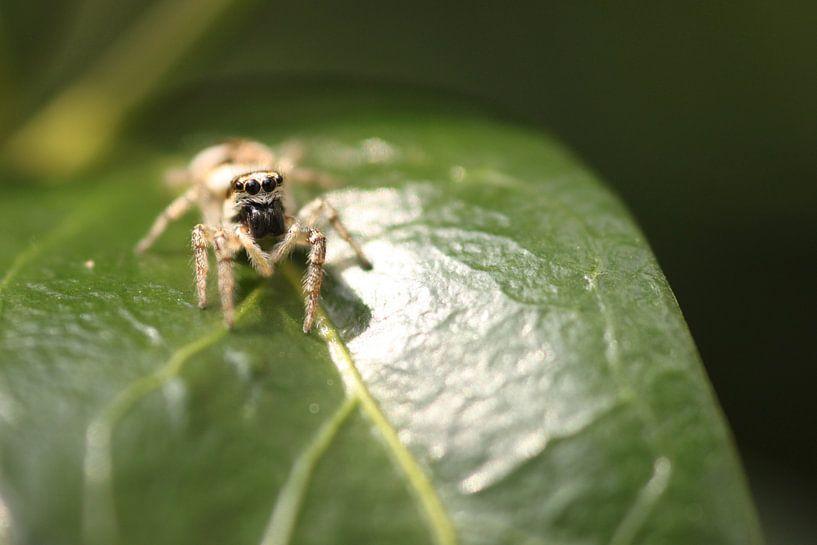 Spinne auf Blatt von Ruud Wijnands