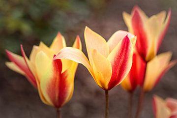 Tulpen van Rob Boon