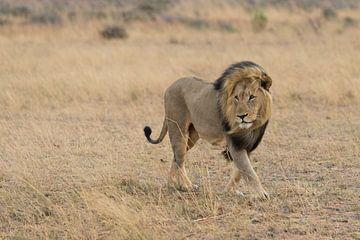 Leeuw in het wild van